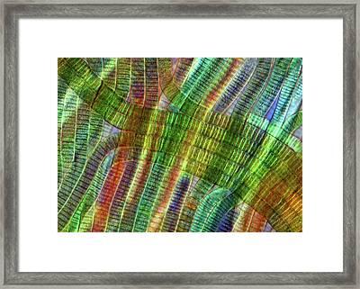 Oscillatoria Cyanobacteria Framed Print