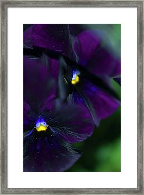 Pansy (viola X Wittrockiana) Framed Print by Maria Mosolova/science Photo Library