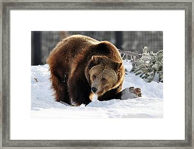 229p Grizzly Bear Framed Print