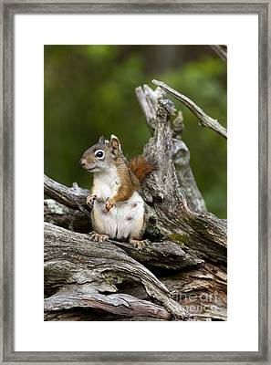 Red Squirrel Framed Print by Linda Freshwaters Arndt