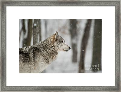 Timber Wolf Pictures Framed Print by Wolves Only