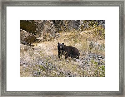 231p Black Bear Framed Print