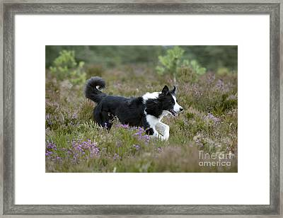 Border Collie Framed Print by John Daniels