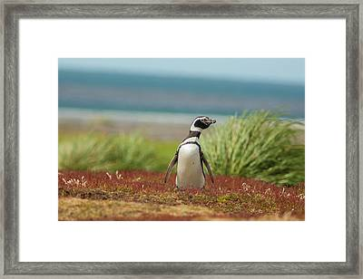 Falkland Islands, Sea Lion Island Framed Print by Jaynes Gallery