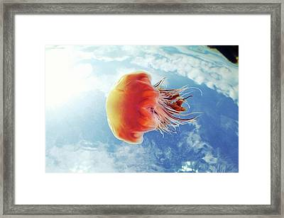 Lion's Mane Jellyfish Framed Print
