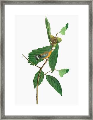 Audubon Warbler Framed Print