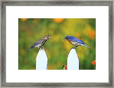 Eastern Bluebird (sialia Sialis Framed Print by Richard and Susan Day