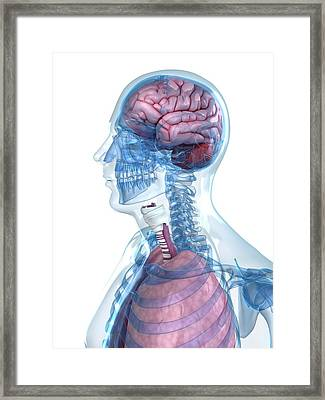 Head Anatomy Framed Print by Sciepro/science Photo Library