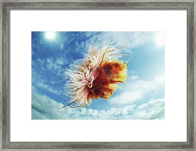 Lion's Mane Jellyfish Framed Print