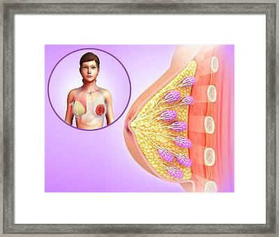 Female Breast Anatomy Framed Print by Pixologicstudio/science Photo Library