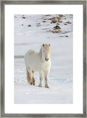 Icelandic Horse With Typical Winter Coat Framed Print by Martin Zwick