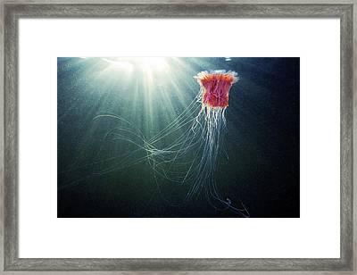 Lion's Mane Jellyfish Framed Print by Alexander Semenov