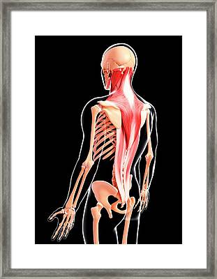 Human Musculature Framed Print by Pixologicstudio/science Photo Library