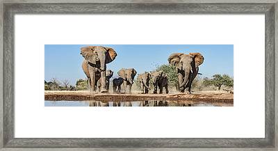 African Elephants Loxodonta Africana Framed Print by Panoramic Images