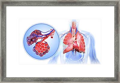 Human Respiratory System Framed Print by Pixologicstudio