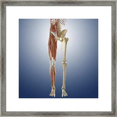 Lower Body Anatomy, Artwork Framed Print by Science Photo Library