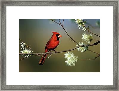Northern Cardinal (cardinalis Cardinalis Framed Print by Richard and Susan Day