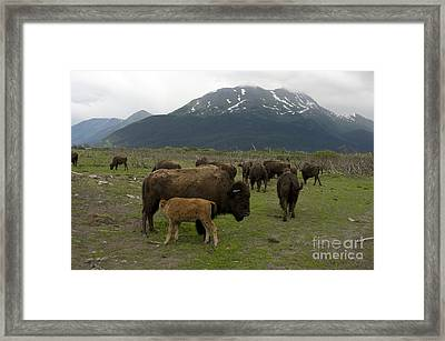 Wood Bison Framed Print by Mark Newman