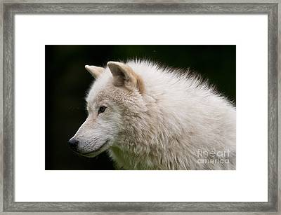 Arctic Wolf Framed Print