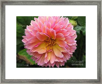 Dahlia From The Showpiece Mix Framed Print by J McCombie