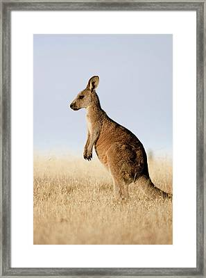 Eastern Grey Kangaroo Or Forester Framed Print by Martin Zwick