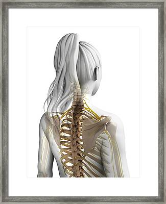 Female Nervous System Framed Print by Sebastian Kaulitzki