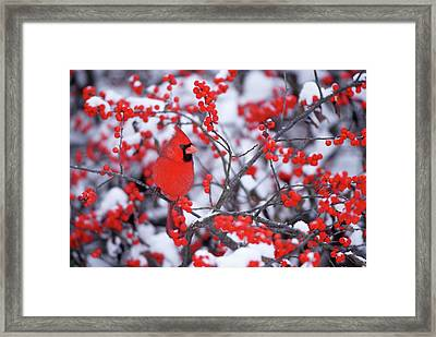 Northern Cardinal (cardinalis Cardinalis Framed Print by Richard and Susan Day
