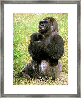 Western Lowland Gorilla Framed Print