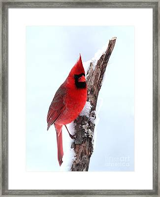 Northern Cardinal Framed Print by Jack R Brock