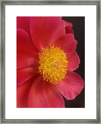 2nd Peony Framed Print by Heather L Wright