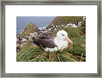 A Black Browed Albatross Framed Print