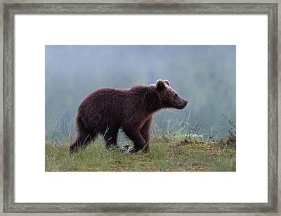 A Juvenile European Brown Bear, Ursus Framed Print by Sergio Pitamitz