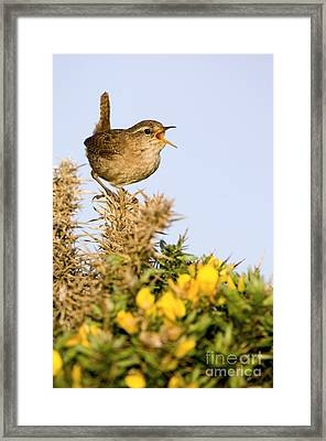 A Singing Wren Framed Print by Duncan Shaw
