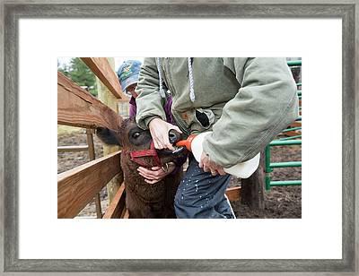 Abbey Of St. Walpurga Cattle Ranch Framed Print