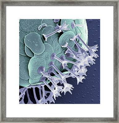 Acanthocystis Framed Print