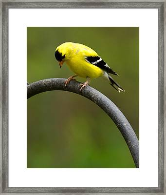 American Goldfinch Framed Print by Robert L Jackson