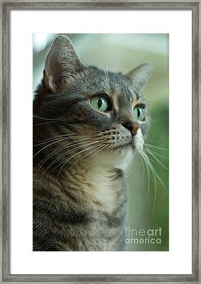 American Shorthair Cat Profile Framed Print by Amy Cicconi