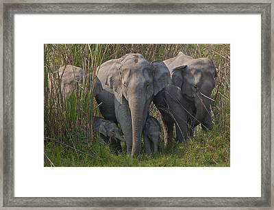 An Indian Elephant Family In Kaziranga Framed Print by Steve Winter