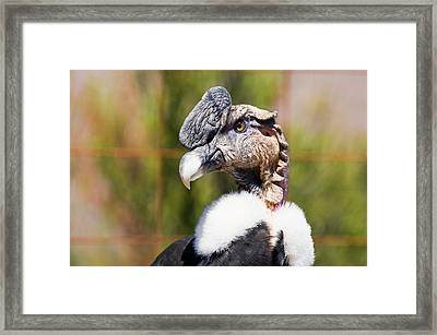 Andean Condor Framed Print by Philippe Psaila/science Photo Library