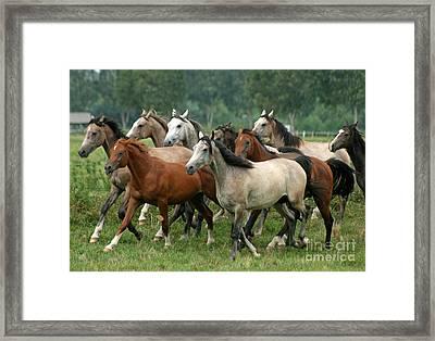 Arabian Horses Framed Print by Angel  Tarantella