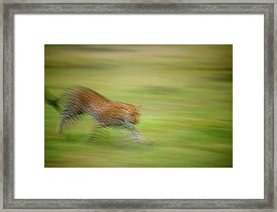 Arabian Leopard (panthera Pardus) Framed Print by Photostock-israel