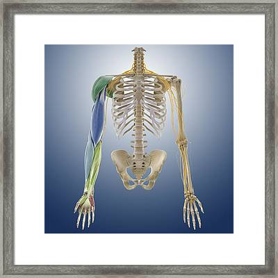 Arm Muscles, Artwork Framed Print by Science Photo Library