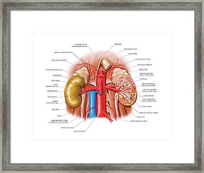 Arterial System Of The Abdomen Framed Print