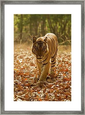 Asia, India, Bandhavgarh National Park Framed Print by Joe and Mary Ann Mcdonald
