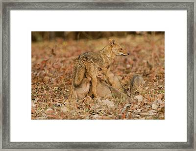 Asia, India, Pench National Park Framed Print