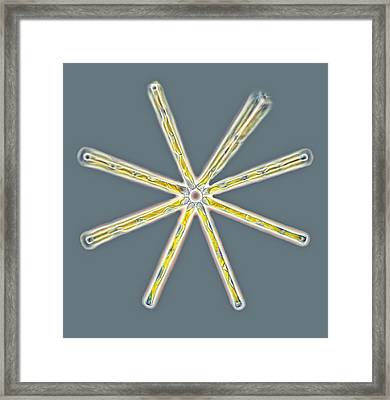 Asterionella Diatoms Framed Print by Gerd Guenther