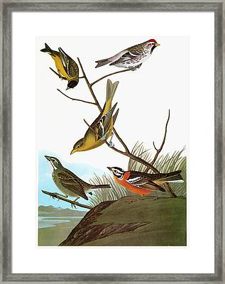 Audubon Songbirds Framed Print by Granger