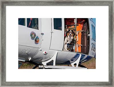 Australian Shepherd Search And Rescue Framed Print by Zandria Muench Beraldo