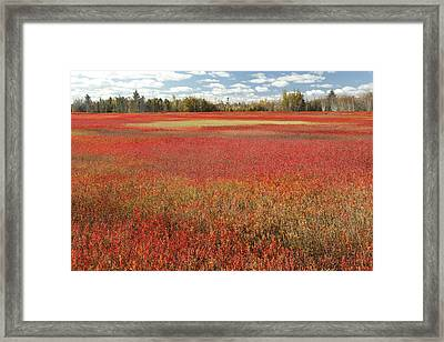 Autumn Blueberry Field Maine Framed Print by Scott Leslie