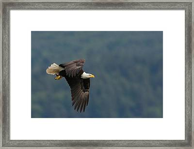 Bald Eagle Framed Print by Ken Archer